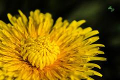 tarassaco (mirkopizzaballa) Tags: macro nikon fiore acceso motivo tarassaco organico allaperto nikkor50mm fiorellini profonditdicampo 50mmaf nikond7200 giallitarassaco motivopianta