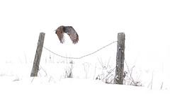 Post to Post - Great grey owl (Jim Cumming) Tags: winter snow canada bird nature field quebec wildlife flight greatgreyowl owl greatgrayowl posts predator