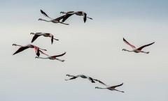 Flamingos - Cervia (camperpida) Tags: flamingos saline cervia fenicotteri