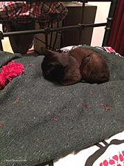 20160425-SootSprite3rest (Snow Dragonwyck) Tags: new black cat angus kitty sootsprite