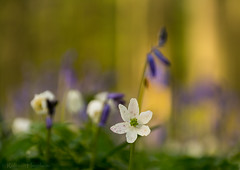 White flower in purple forest (rvanhegelsom) Tags: wood flowers blue trees plant flower color colour tree green nature floral beautiful bluebells forest landscape photography spring woods flora colorful belgium natural pics colourful sequoia halle hallerbos