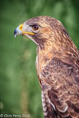 Harris Hawk (cjp_1954) Tags: bird hawk raptor harrishawk northsomersetbirdofpreycentre
