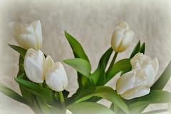 Tender tulips ... (Maria Godfrida) Tags: flowers white green nature petals flora tulips softness bouquet pure tenderness whiteflowers whitetulips