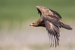 Schreiadler (Tierfotografie Niklas Mattern) Tags: canon eos eagle wildlife adler spotted lesser ef schreiadler 7dmarkii 400l28isii