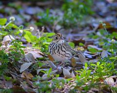 Fort De Soto Park Ovenbird 04-23-2016 (Jerry's Wild Life) Tags: florida warbler fortdesoto songbird songbirds ftdesoto ovenbird pinellascounty fortdesotopark ftdesotopark