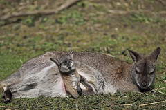 A Tight Squeeze (mark f2.9) Tags: baby zoo joey wildlife wallaby emerging marwell bennetts
