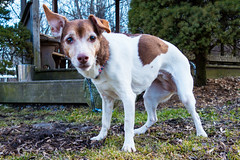 Myrtle-4 (66Baseball) Tags: dog female jack mix russell pennsylvania terrier jackrussell myrtle shelter kennel allrightsreserved adoption berkscounty bbi arl 501c3 animalrescueleague jackrussellterriermix copyright 6666baseball66 bbi copyrightbbi