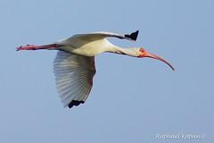 Ibis (RKop) Tags: a77mk2 minolta600mmf4apog sanibel florida raphaelkopanphotography sony wildlife