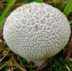 cogumelo (jakza - Jaque Zattera) Tags: branco cogumelo fungo padro tetura