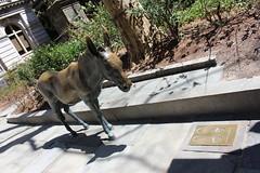 IMG_3244 (jimward85) Tags: boston donkey freedomtrail democrat opposition oldcityhall