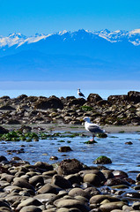 In the shadow of the Olympics (James_D_Images) Tags: ocean seagulls snow mountains water island coast rocks pacific pacificnorthwest olympic washingtonstate whidbey westbeach