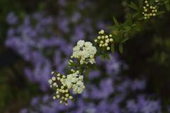 _DSC2022 (Osamu1965) Tags: flower japan zeiss garden spring sony contax jp   okayama     a7m2  carlzeissvariosonnart2870mmf3545mm