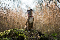 ... (Tams Szarka) Tags: dog pet nature animal forest puppy outdoor boxerdog