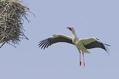 Anflug (frodul) Tags: bird deutschland nest outdoor wildlife natur paar hannover ni horst stork vogel storch flgel frhjahr ciconiaciconia ankunft federkleid rckkehr weisstorch