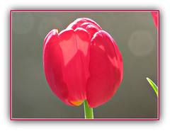 Touched By Light (bigbrowneyez) Tags: pink flowers light red nature one design petals spring pretty tulips bright blossom gorgeous sunny natura fresh gift uno frame surprise stunning cousin lovely fiori striking regalo cornice generous silvana tulipana eastergift touchedbylight