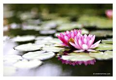 Van Gogh in Giverny? (Emet Martinez Photography) Tags: flowers reflection waterlily waterlilies impressionism lillypads emetmartinezphotography emetmartinezcom topazimpression vangoghbrushtrokes