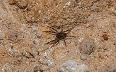 sandstone ?Lycosid? (dustaway) Tags: family nature sandstone australia nsw arthropoda arachnida genus araneae lycosidae araneomorphae australianspiders northernrivers naughtonsgap