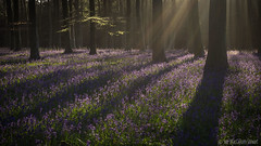 Long shadows (Sue MacCallum-Stewart) Tags: flowers trees nature bluebells woodland landscape dawn sussex spring woods wildflowers sunrays firstlight wephamwood