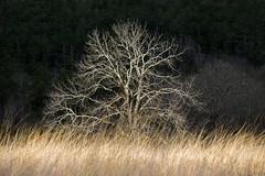 In the Spotlight (Appalachian Hiker) Tags: morning light tree field grass meadow lonetree