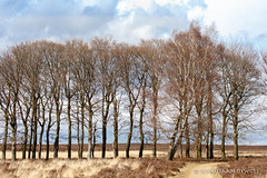 Trees in a row (sebastiaan.dewolf) Tags: trees tree nature row veluwe 6d