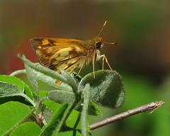 Zabulon skipper - Georgia yard (Vicki's Nature) Tags: brown male yellow yard canon butterfly georgia small s5 zabulonskipper 7433 vickisnature