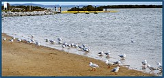 Shoreline Gull Gathering. (fotograf1v2) Tags: birds gulls shoreline australia mangroves tooradin shorebirds recreationalfishing westernportbay coastalvillage touristprecinct caseyshire southernvictoria pontoonpier autumn2016 tooradininlet