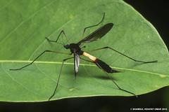 Crane fly (Shamsul Hidayat Omar) Tags: lens photography fly nikon crane bio 55mm malaysia omar selangor biodiversity hidayat micronikkor tipulidae greatphotographers shamsul kepelbagaian d800e