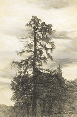 Spruced Up (margotd2) Tags: tree nature forest outdoors sketch spruce