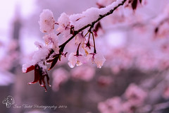 Cherry Blossom in Snow in April (Sue_Todd) Tags: pink snow ice cherry april cherryblossom aprilsnow
