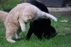 Tom's Fight I (frankbehrens) Tags: cats tom cat chats chat gatos gato katze katzen kater
