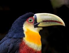 Ramphastos dicolorus (LToniolo) Tags: bird nature toucan wildlife atlanticrainforest birdsofbrazil
