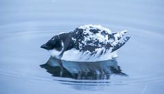 Little Auk - Alle alle - Haftyrðill (*Jonina*) Tags: iceland ísland faskrudsfjordur fáskrúðsfjörður birds fuglar littleauk allealle haftyrðill reflection speglun jónínaguðrúnóskarsdóttir 1000views 1500views 25faves