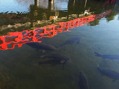 red and carp (murozo) Tags: bridge red fish castle water japan 日本 carp matsumoto nagano 魚 水 松本 長野 橋 赤 松本城 鯉 お堀
