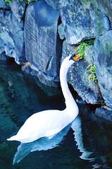 Mute Swan (Junko Hirata) Tags: bird japan swan  birdwatching muteswan cygnusolor  2016