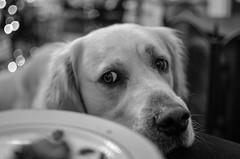 Mmmm...That looks tasty (steven1267) Tags: cute dogs field animals photography blackwhite nikon mansbestfriend nikkor dslr depth goldenretrievers dogphotography petphotography 35mmf18 d7000 nikond7000 afs35mm18 photographyforrecreation