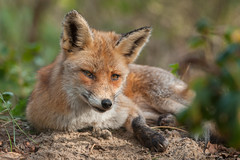 Relaxing Red Fox (Wouter's Wildlife Photography) Tags: nature animal mammal wildlife fox predator relaxed redfox vulpesvulpes rv westduinpark pattedyr