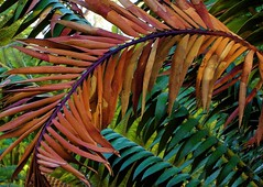 profusion (nolleone--Nol, like Christmas) Tags: leaves colorful cycad bending layered lotusland arched enoughisneverenough montecitoca