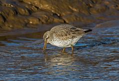 JWL_9176 Knot.... (jefflack Wildlife&Nature) Tags: nature birds countryside wildlife ngc wetlands waders dunlin avian seabirds waterbirds estuaries shorebirds wildbirds coastalbirds