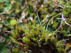Juncus curtisiae (dracophylla) Tags: tasmania centralplateau juncaceae juncuscurtisiae