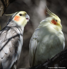 Weiros (Ignacio Ferre) Tags: bird nikon ave cockatiel cockatoo pjaro cotorra nymphicushollandicus quarrion weiro cocotilla cacatadelasninfas