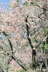 Japanese Flowering Apricot Trees. (LisaDiazPhotos) Tags: flowers trees nature japanese day photos library huntington free lisa h apricot flowering diaz
