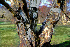 forked creatures (dick_pountain) Tags: tree london yoga bark birch parliamenthill silverbirch awardtree