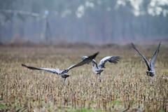Grues des Landes (Departement des Landes) Tags: nature migration oiseau environnement faune aquitaine grues faunesauvage dpartementdeslandes gruescendres conseilgnraldeslandes conseildpartementaldeslandes