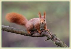 tu veux ma photo !!! (guiguid45) Tags: nature nikon squirrel animaux forêt écureuil sauvage loiret mammifères 500mmf4 d810
