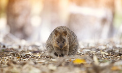 Sleeping endangered Quokka in the wild, Rottnest Island, Western Australia (westernaustraliabymarcrusso) Tags: sleeping cute wow sleep australia tired western endangered rotto rottnest quokka