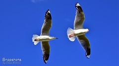 _DSC5372 (dawnbordin) Tags: sea hot bird beach birds head seagull gulls flight chips hungry lennox