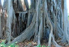 Ficus Macrophylla f. columnaris / Lord Howe Island fig tree (annamaart) Tags: trees jungle tenerife teneriffa canaryislands puertodelacruz kanariearna djungel