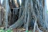 Ficus Macrophylla f. columnaris / Lord Howe Island fig tree (annamaart) Tags: trees jungle tenerife teneriffa canaryislands puertodelacruz kanarieöarna djungel