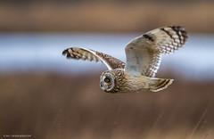 Short eared Owl in flight II (Peter Bangayan) Tags: