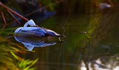 Floating Nap (Shanaro) Tags: sun lake bird water germany zoo duck ente mnster allwetter